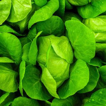 Fresh food lettuce